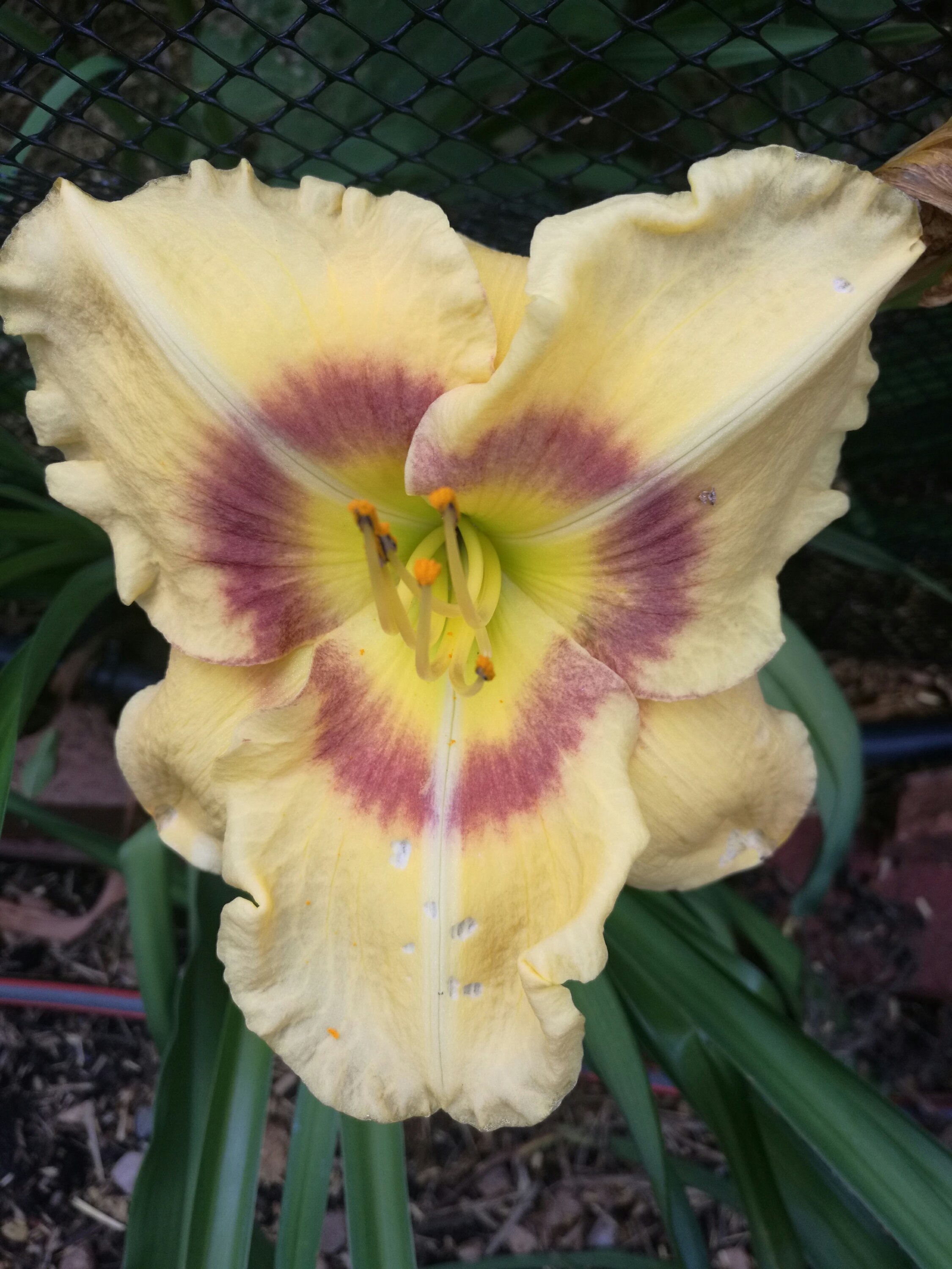 Day Lilies have stunning, edible flowers.