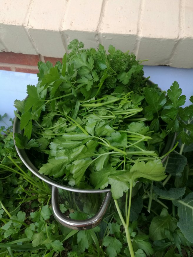 A whole mass of Parsley for drying