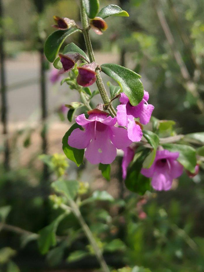 Native Mint (Prosanthera incisa)