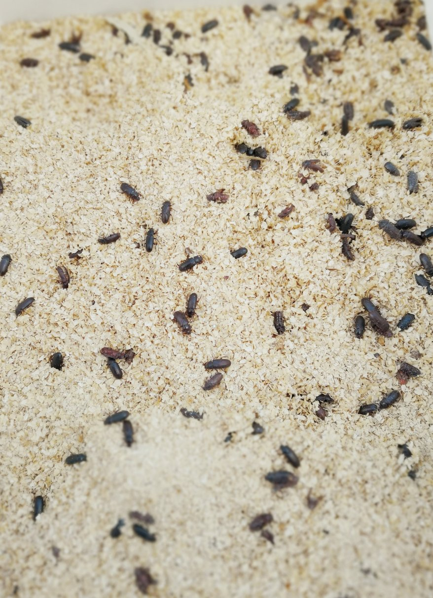 Dead beetles, the end of the cycle