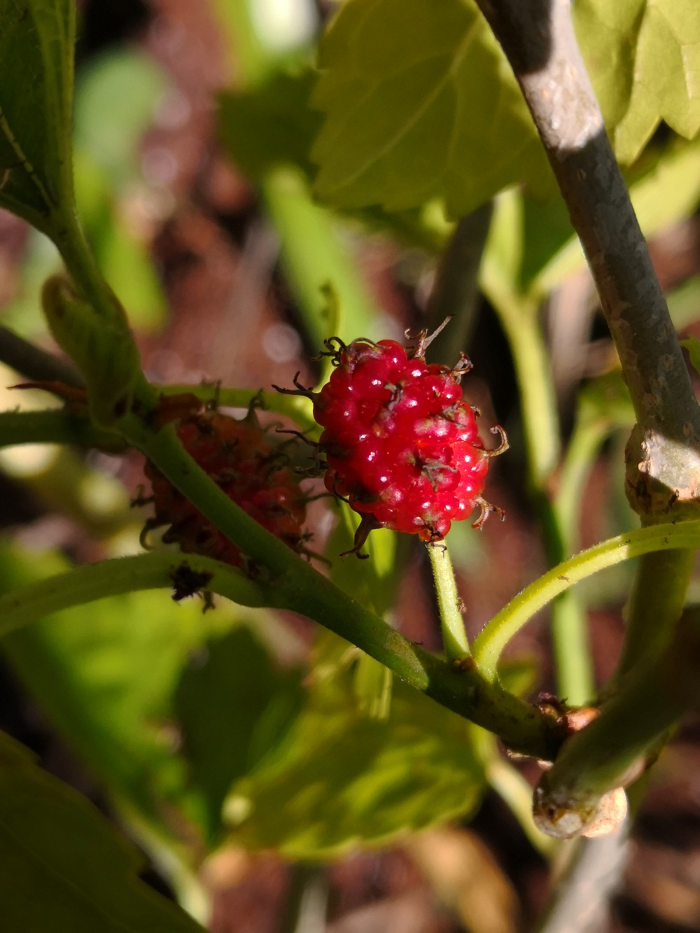 Tiny mulberry
