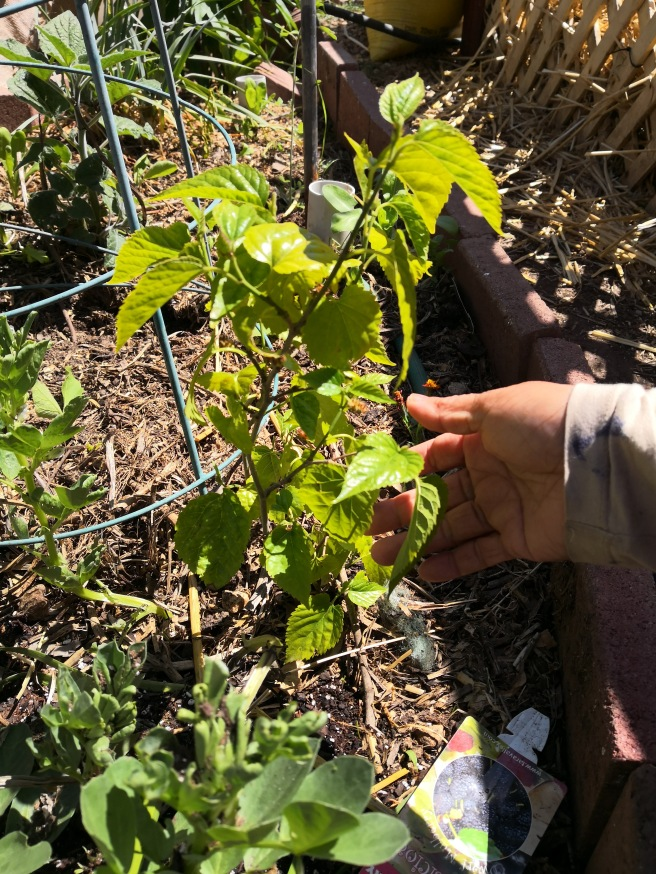 Tiny Mulberries on the Dwarf Mulberry