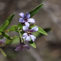 Sweet Appleberry (Billardiera cymosa)