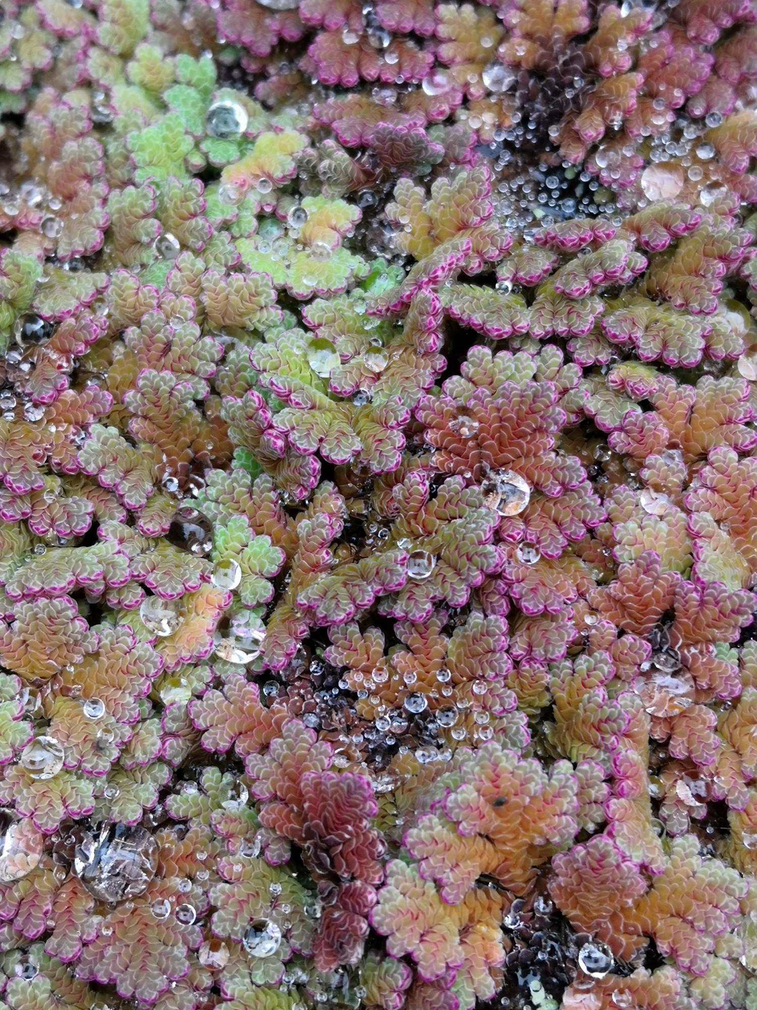 Azolla (Azolla filiculoides)