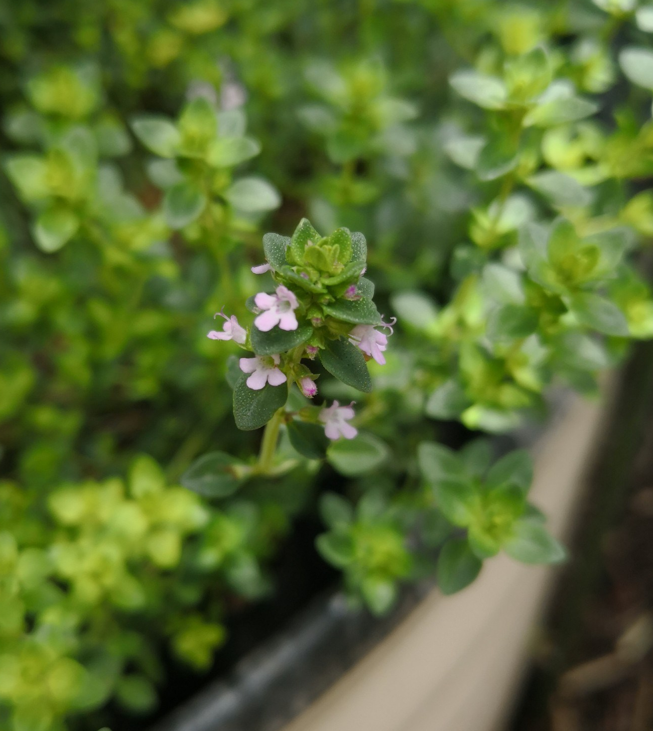 Orange Thyme flowers