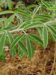 Tagasaste leaves.