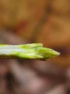 Cassytha stem tip.