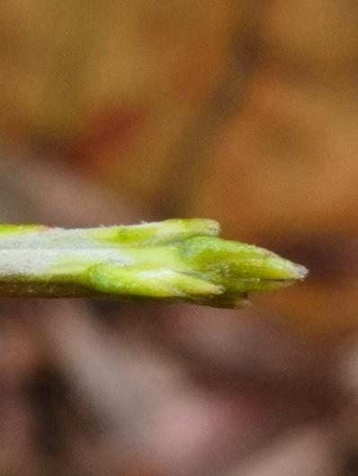 Cassytha stem