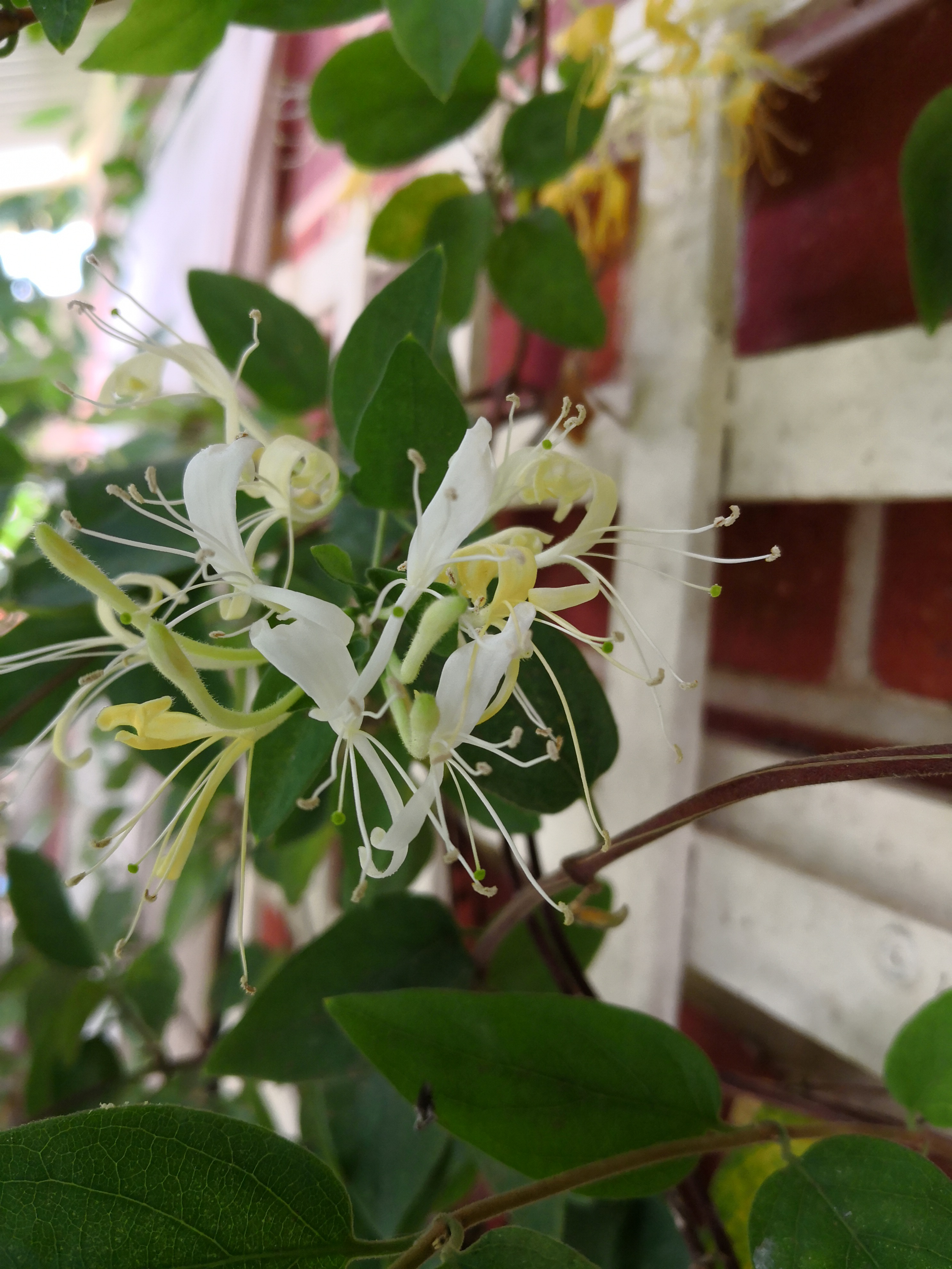 Lonicera species