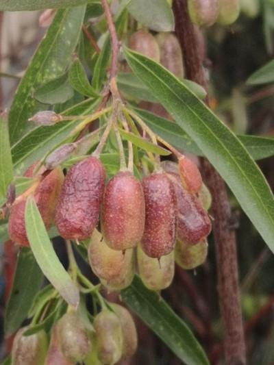 Sweet appleberry fruit
