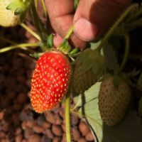 Our first aquaponics strawberries