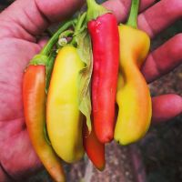 Capsicum red and yellow