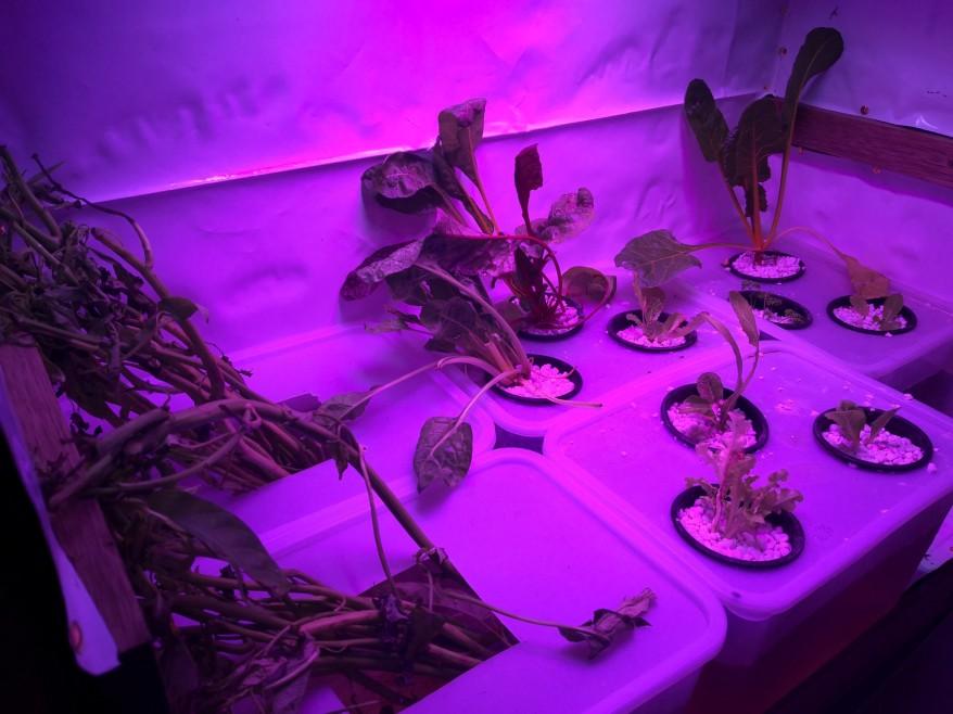 Our indoor Kratky garden