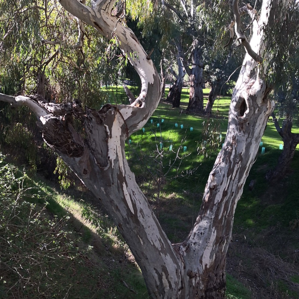 Mature Red gums provide nesting hollows that are refuge and breeding grounds for many critters.