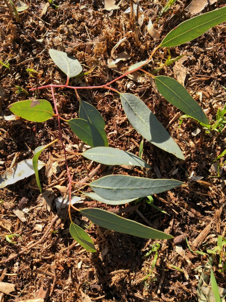 Red Gum leaves are a source of Eucalyptus oil.