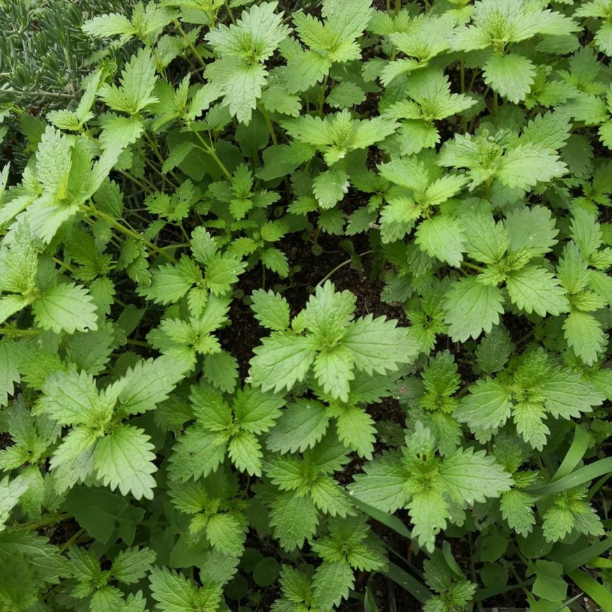 Young nettle patch