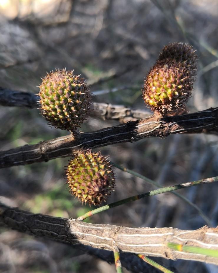 Young sheoak cones