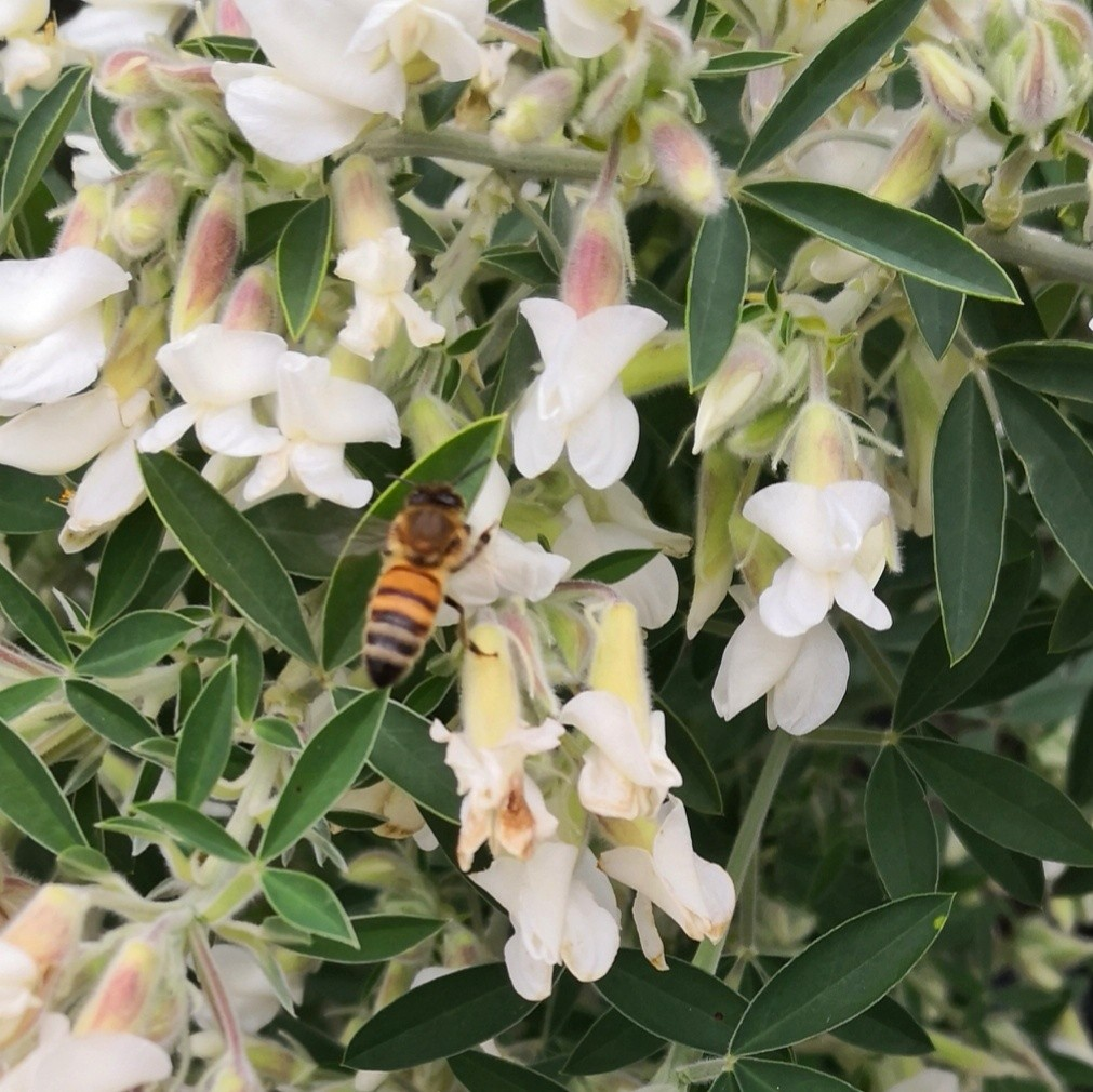 Bees love their abundant flowers