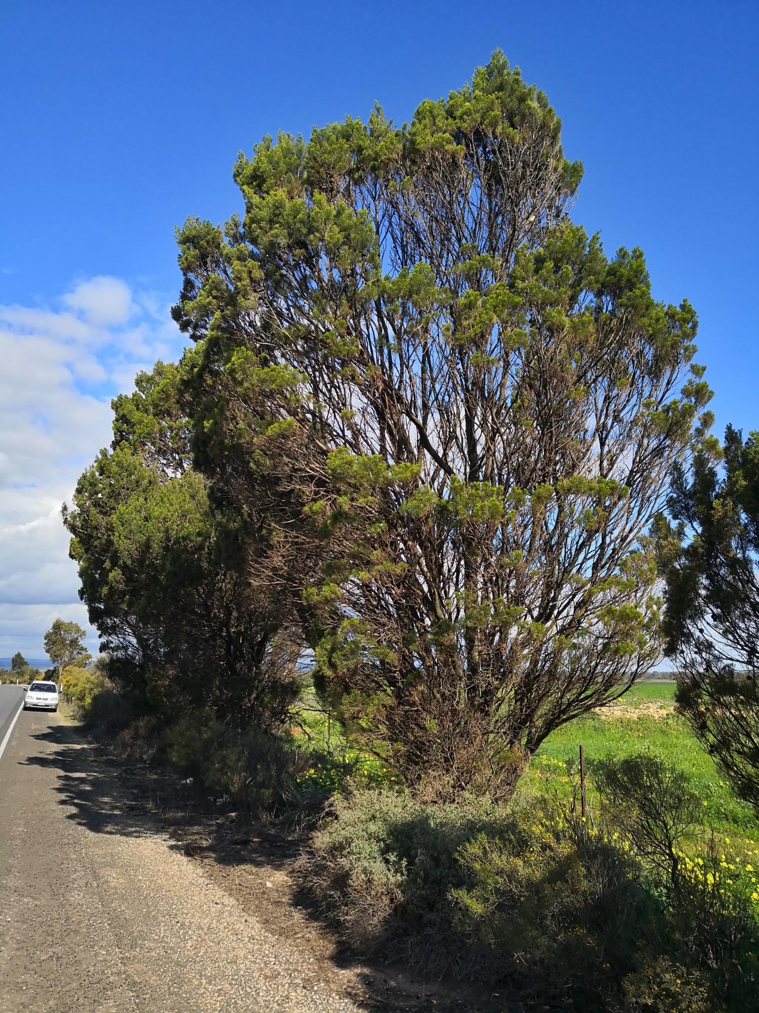 A mature Cypress Pine.