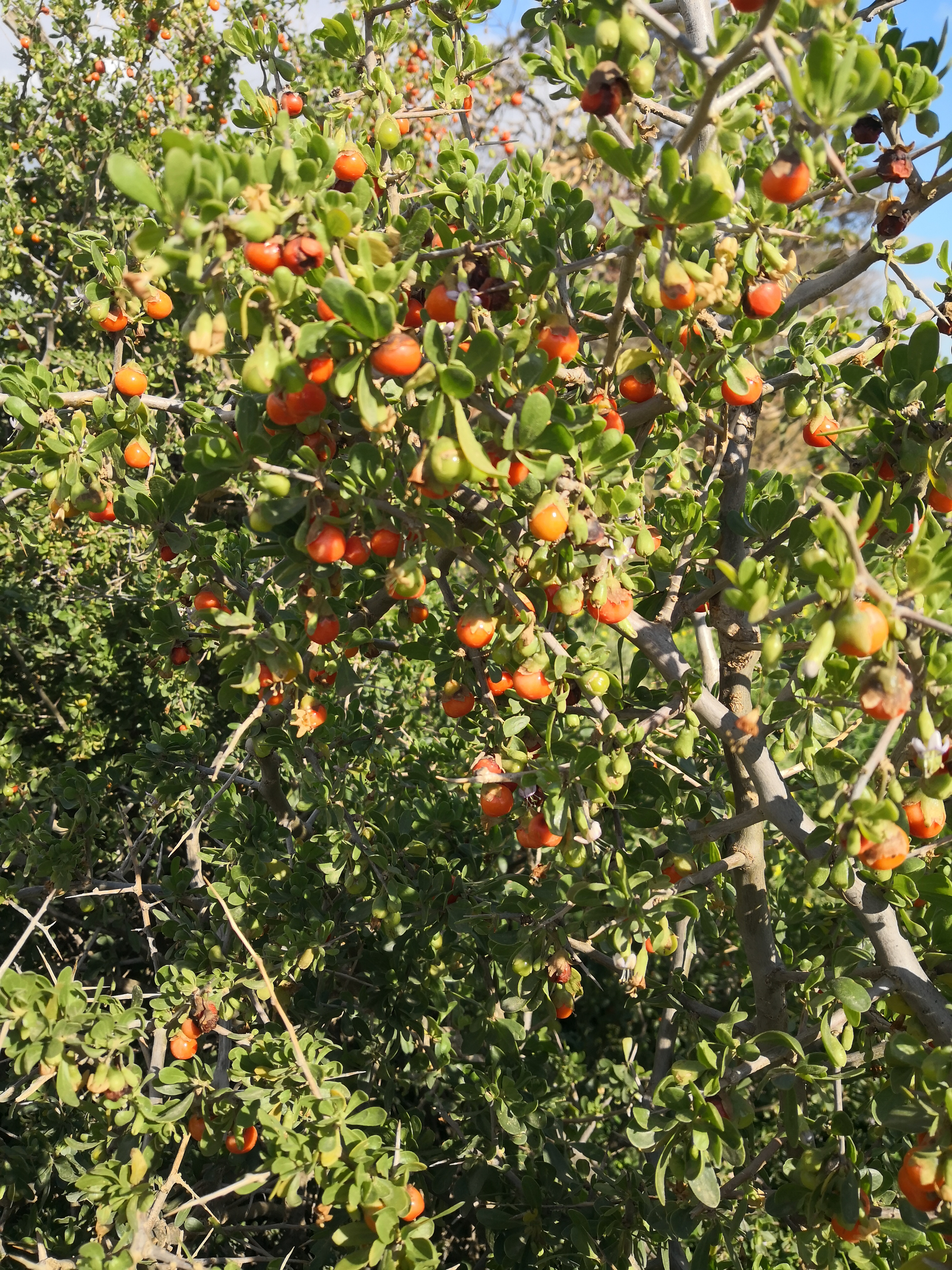 African Boxthorn is hugely prolific in season.