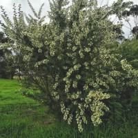 Tagasaste, Tree Lucerne (Cytisus proliferus)