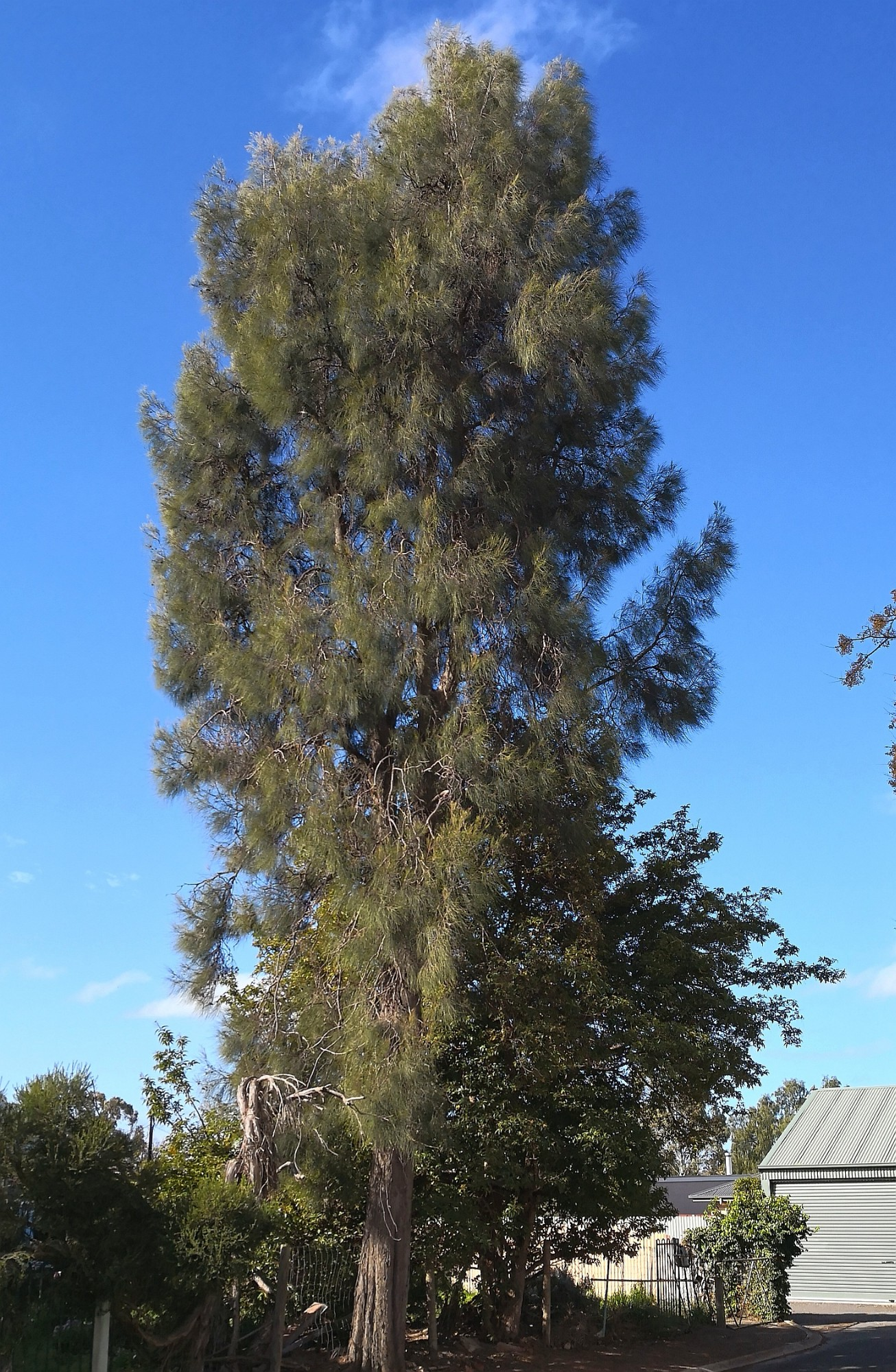 A mature Drooping Sheoak tree.
