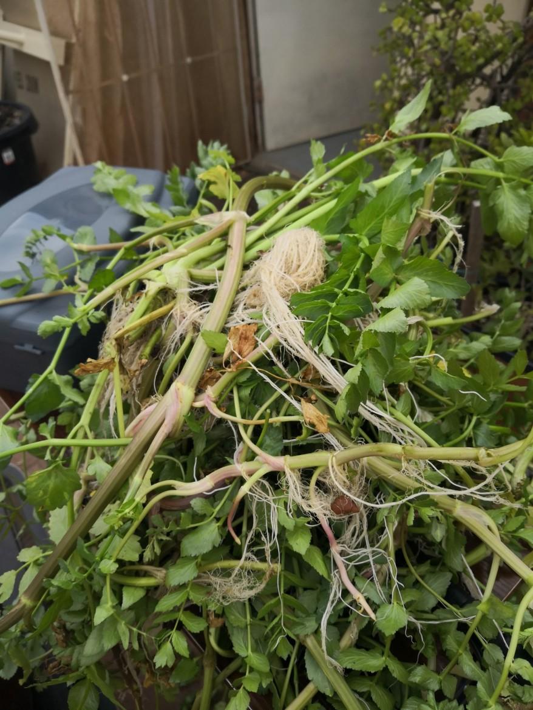 Carrot plants in aquaponics
