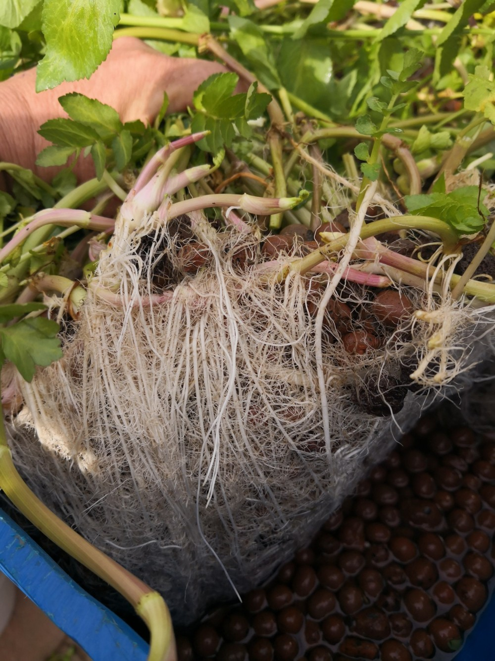 Carrot plants in aquaponics