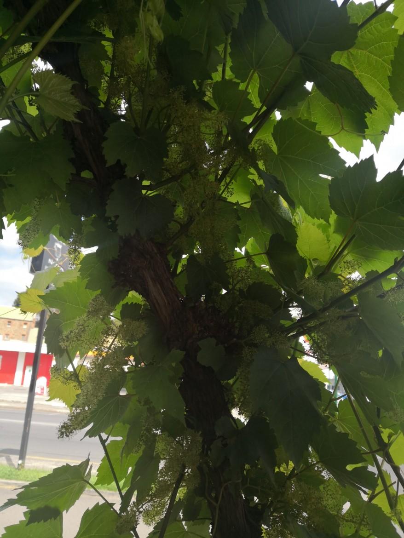 Grapes at Cafe Nova
