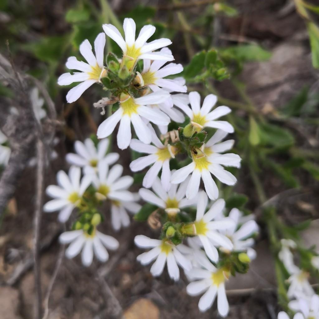 White Fan Flower (Scaevola albida)