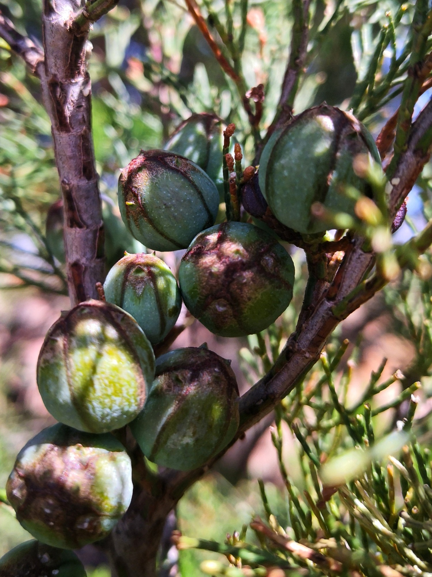 Young Cypress cones make an interesting tea,
