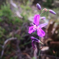 Chocolate or Vanilla lily (Arthropodium sp)