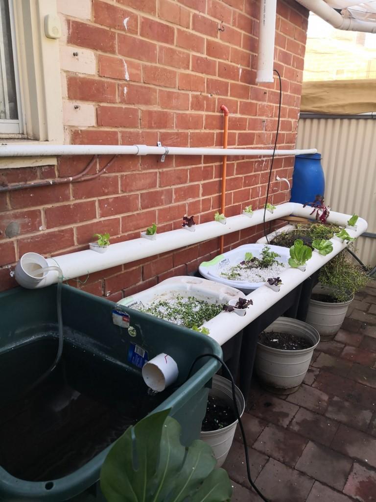 A temporary, second, aquaponics system.