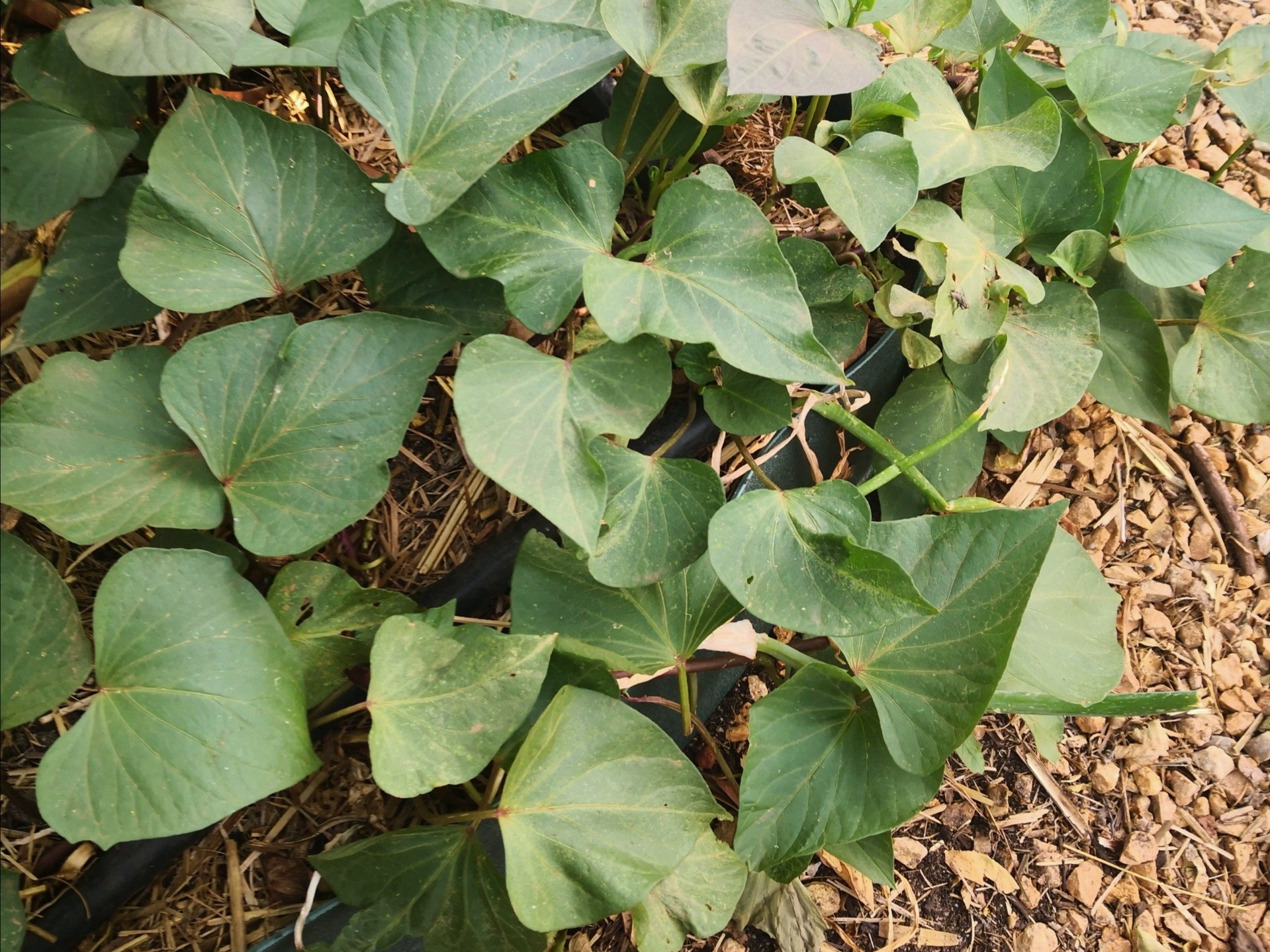 Sweet Potatoes are our favourite ground cover