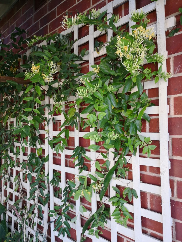 Honeysuckle vine shades the wall directly