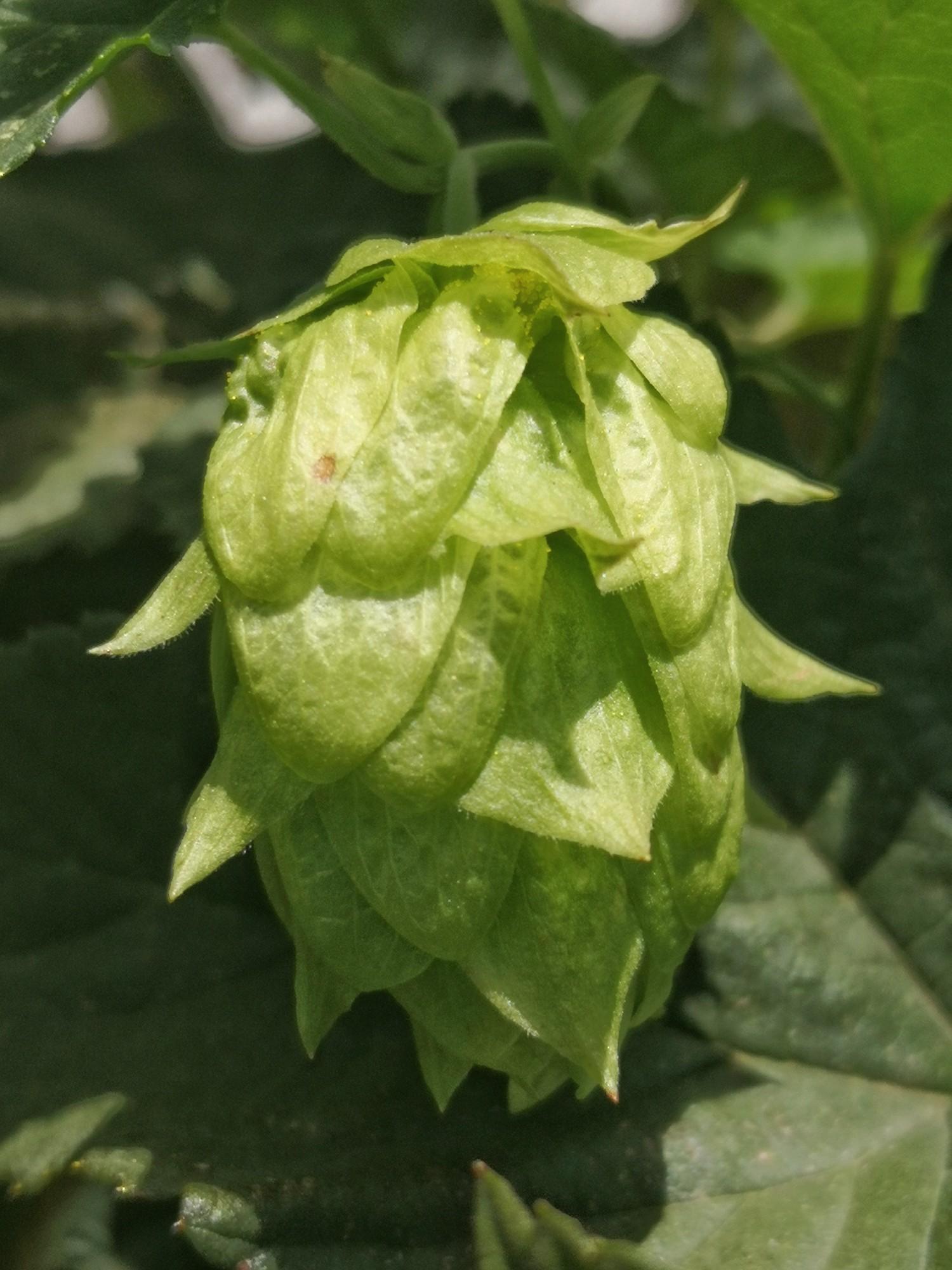 A hops cone.