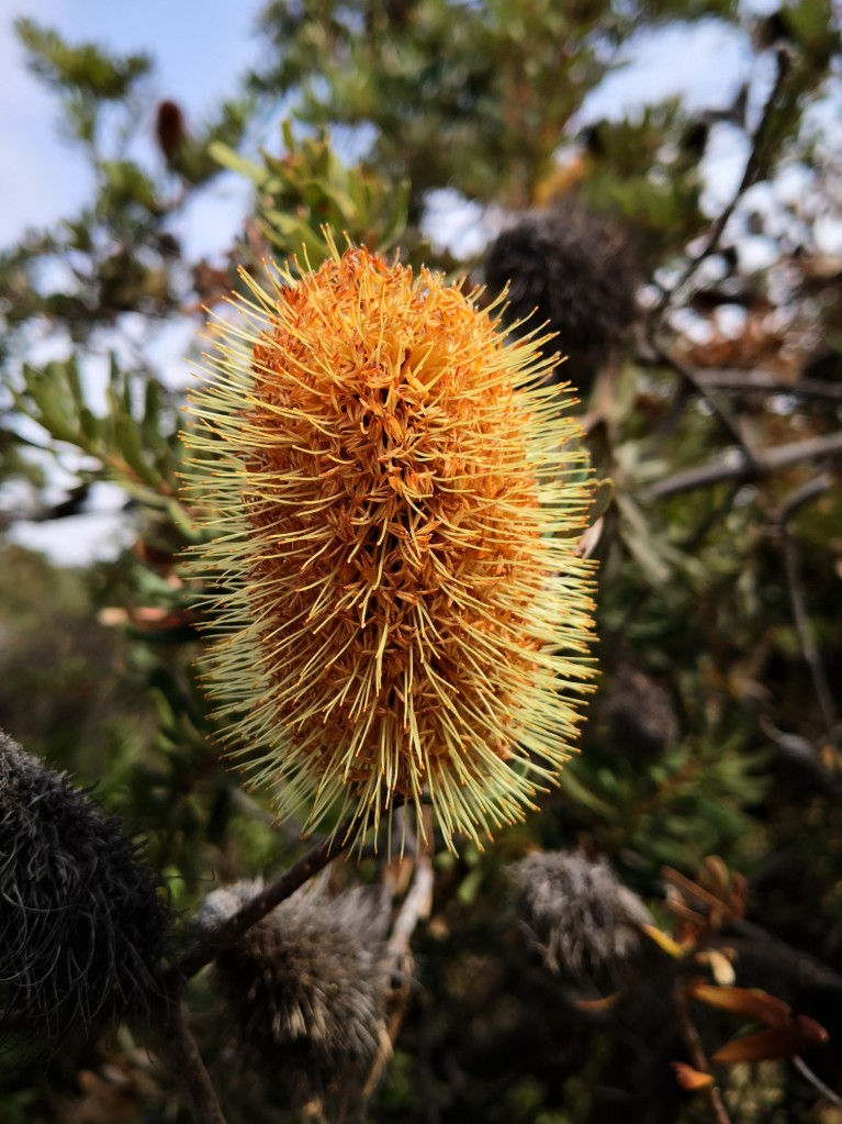 Banksia flower 'cone' or 'inflorescence'.