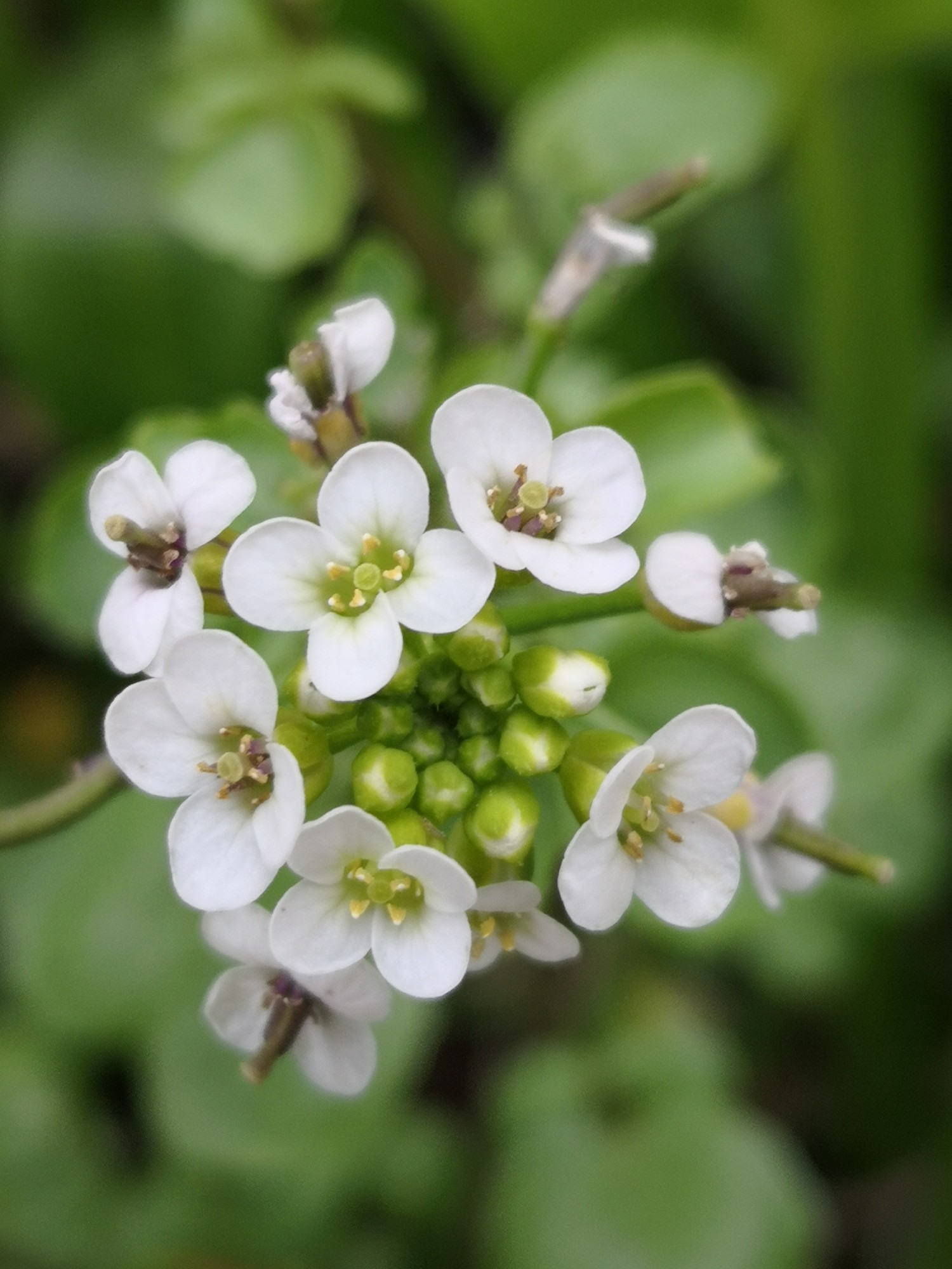 Watercress has small white and green flowers.