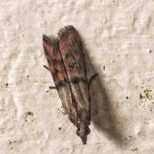 These little moths come in with the bran. They don't hurt the Mealworms by infest their food.
