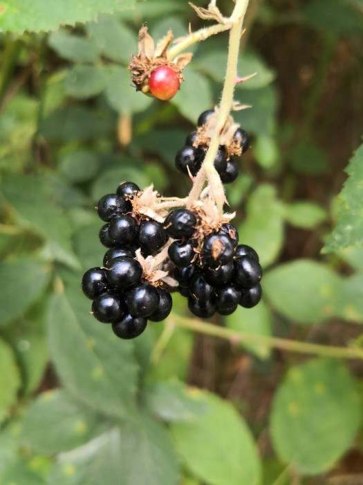 Lovely, juicy Blackberries.
