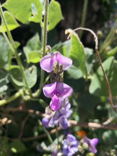 Lab Lab Beans (Lablab purpureus)