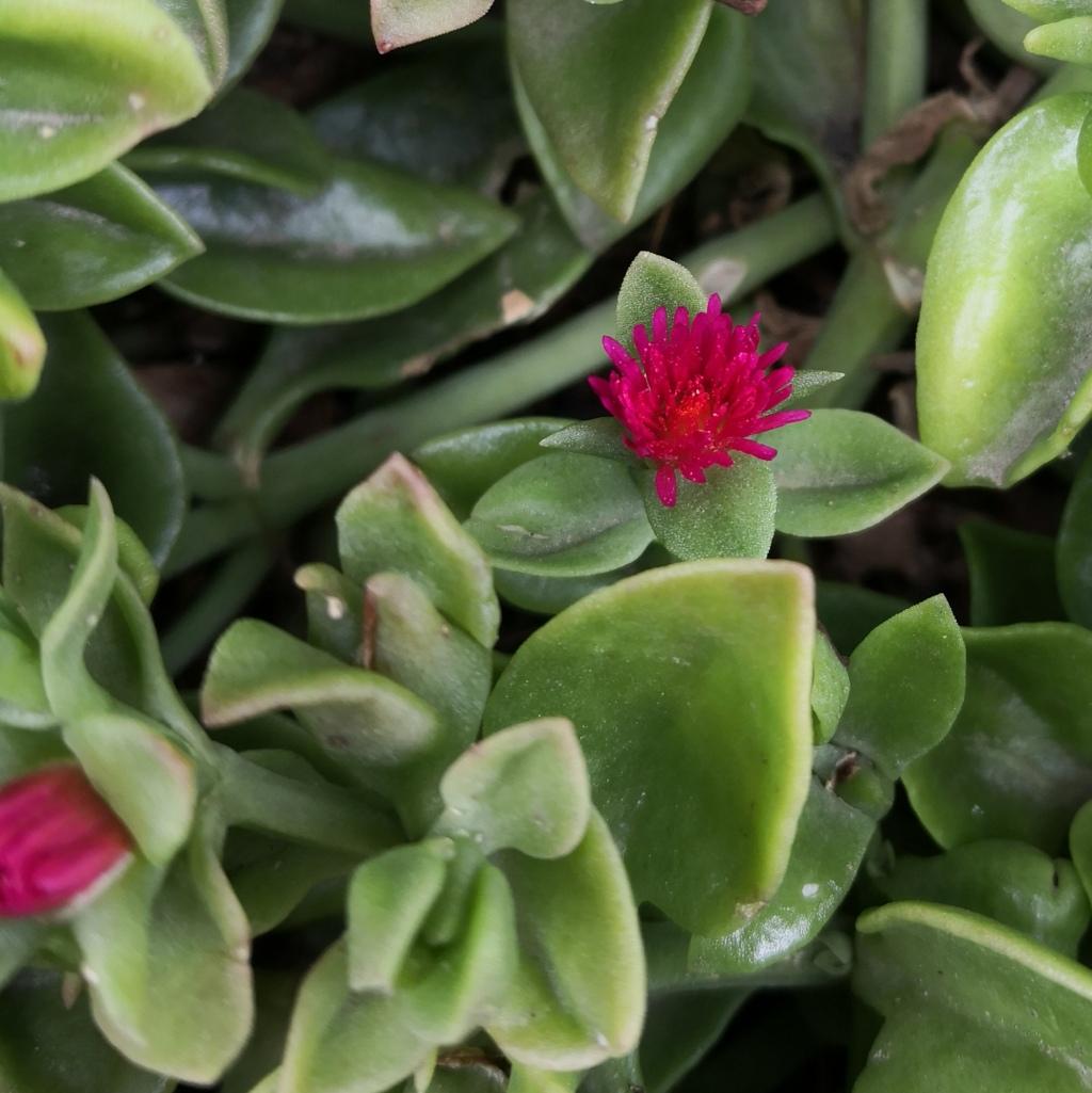Baby Sun Rose (Aptenia cordifolia)