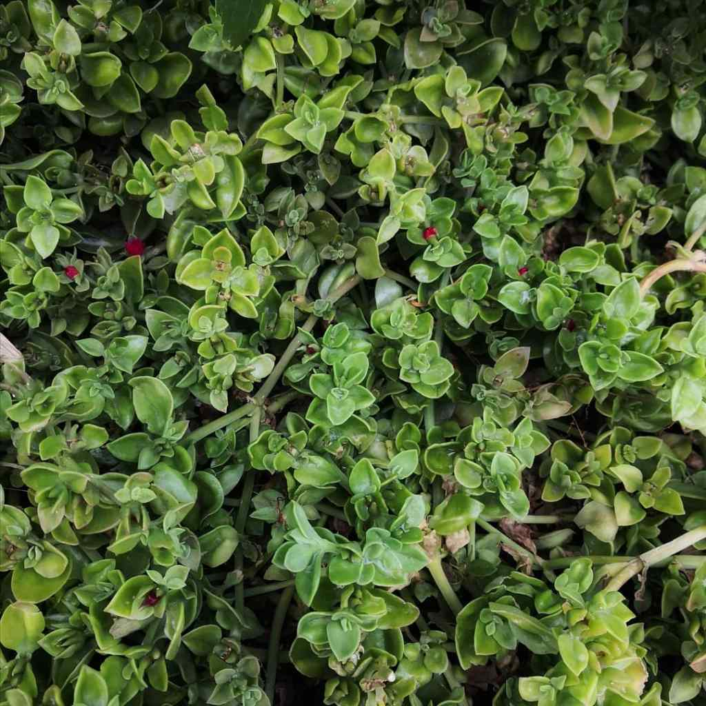 Patches can become quite dense and smother other plants.