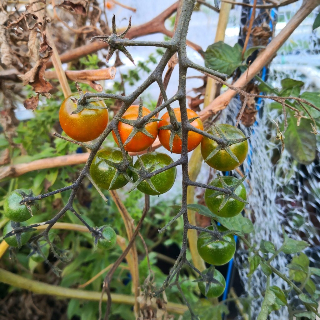 The Tomatoes are showing no signs of slowing down.
