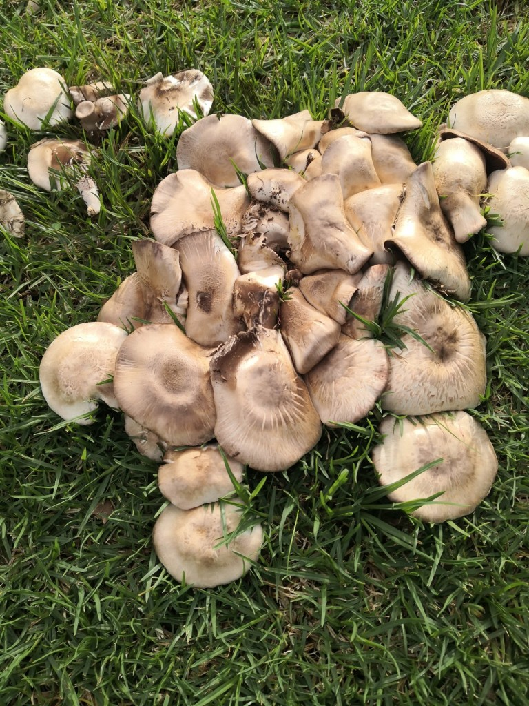 A cluster of Yellow Stainers.