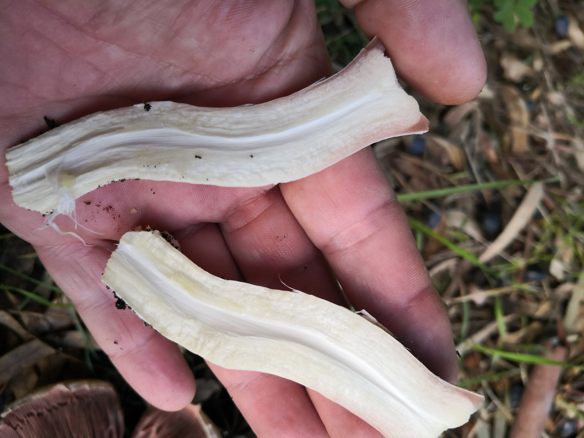 Mature Yellow Stainer stems are hollow.