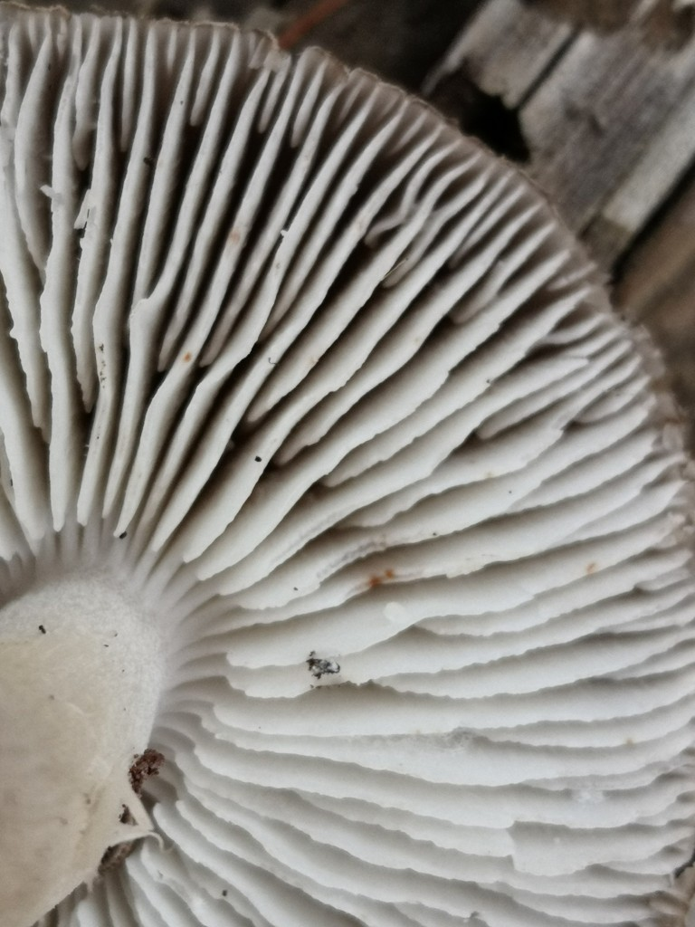 Pale grey, wavy edged gills separated from the stem by a distinct notch.