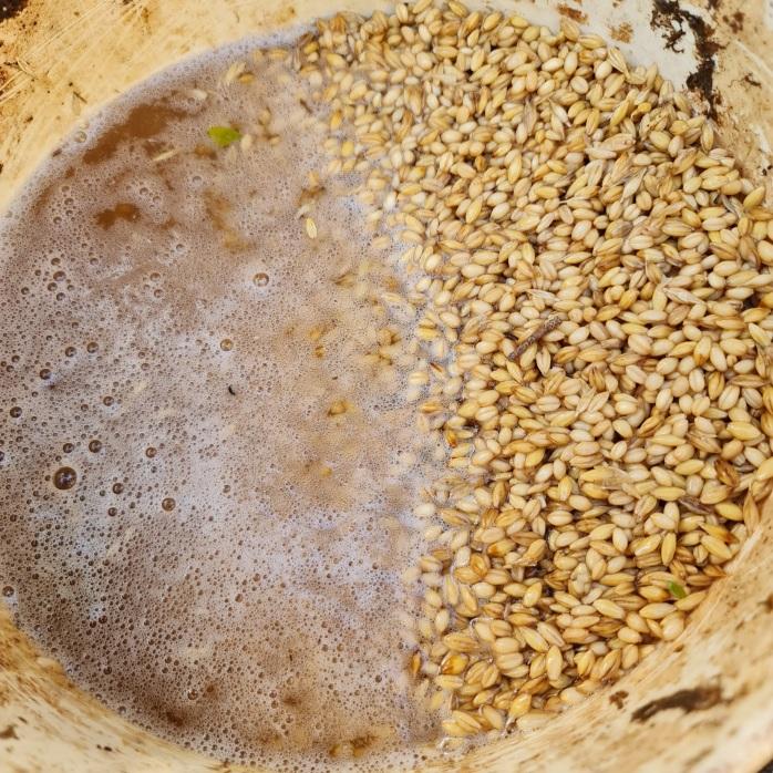 Fermenting whole grains