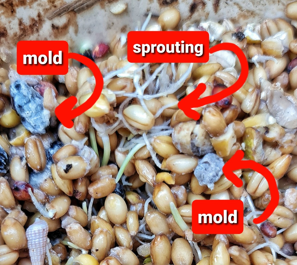 If the water level is below the top of the grain sprouting can happen and mold can form.